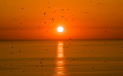 A sea birds fly past the rising sun near the RSPB nature reserve at Bempton Cliffs in Yorkshire, as over 250,000 seabirds flock to the chalk cliffs to find a mate and raise their young.