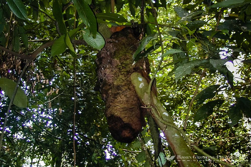 Indonesia, Sumatra. Bukit Lawang. Gunung Leuser National Park. Termites are popular among the orangutans as supplementary food.