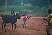 Cattle drivers drag a bull to a slaughter house in a suburb of Bangui. Working as a team, these young men are hired by the bull owners who purchase the bulls in the livestock market, and pay young men 2,000 CFA (about 4 USD) to take a bull to the slaughter house.