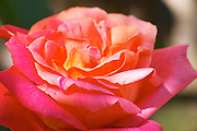 Roses in the garden, in pink red and yellow Clos des Iles Le Brusc Six Fours Cote d'Azur Var France