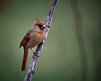 Female Northern Cardinal. Image taken with a Nikon D5 camera and 600 mm f/4 VR lens (ISO 1600, 600 mm, f/4, 1/640 sec).