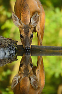 Roe deer, Capreolus capreolus, drinking water, at Pusztaszer protected landscape, Kiskunsagi, Hungary