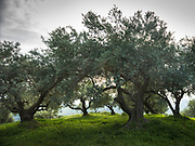 A field of olive trees. Cretan landscape.