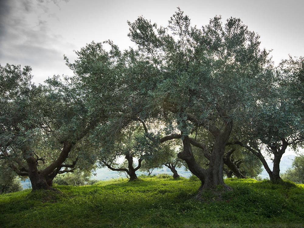 A field of olive trees. Cretan landscape.