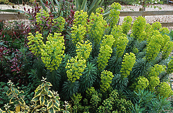 Euphorbia characias subsp. wulfenii with Euphorbia x martinii, Eleagnus, Photinia 'Red Robin' and Phormium