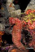 longsnout seahorse or slender sea horse, Hippocampus reidi, Orca Reef, St. Vincent or Saint Vincent, West Indies ( Caribbean Sea )
