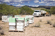 """23 APRIL 2007 -- FT. MCDOWELL, AZ: DENNIS ARP, an Arizona beekeeper, drives his truck up to his hives on the Ft. McDowell Indian Reservation about 50 miles from Phoenix. Arp has been a commercial beekeeper in Flagstaff, AZ, for more than 20 years. He said he lost almost 50 percent of his hives in the last year for no apparent reason. The syndrome has been termed """"Colony Collapse Disorder"""" and was first reported on the East Coast of the US last fall. Researchers do not know what is causing the disorder. Stress, parasites, disease, pesticides and a lack of genetic diversity are all being investigated. German researchers are also studying the possibility that radiation from cellphones is scrambling the bees' internal navigation systems.  Photo by Jack Kurtz"""