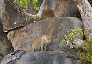 African Leopard, Panthera pardus