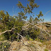 USA, California, San Diego County. Flora of Anza-Borrego Desert State Park.