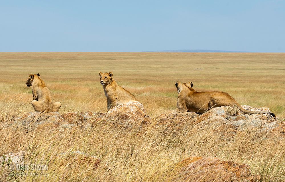 A female Lion, Panthera leo  melanochaita, with two cubs in Serengeti National Park, Tanzania