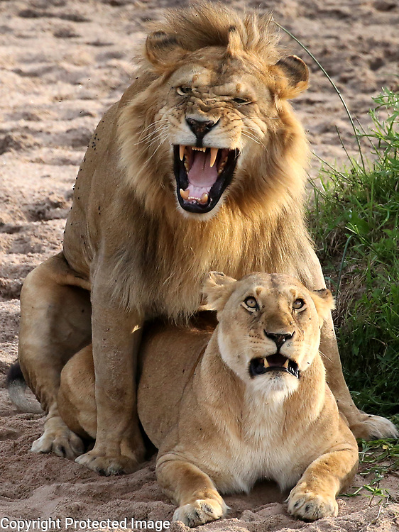 A male lion mounts a lioness during mating in Kenya's Masai Mara in June. When lions mate, they do so frequently. Copulation is repeated around 4 to 6 times an hour, and goes on for days. If there are more than one dominant male with the pride, the female will often move onto the next male once she's exhausted the first, ensuring protection from all her suitors.<br /> Photo by Shmuel Thaler <br /> shmuel_thaler@yahoo.com www.shmuelthaler.com