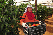 Organic pepper farm. Peppers are cultivated insdie a hothouse to keep them moist and cool. Photographed at Faran in the Arava desert, Israel