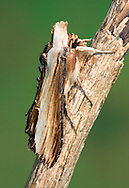 The Mullein Shargacucullia verbasci Length 25-27mm. A striking, narrow-winged moth whose shape and markings make it resemble a snapped twig. At rest, the wings are held in a tight tent-like manner, and tufts of hairs project from the head end. Adult has buff wings with dark brown leading and trailing edges, and a lengthways pale stripe. Flies April-May. Larva is white with yellow bands and black spots; feeds on mulleins, figworts and Buddleia. Widespread but common only in southern and central Britain.