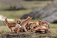 Äthiopischer Wolf (Canis simensis) im Bale Mountains Nationalpark im Web Valley in der Region Sodota. Welpen und Adulte des Megitti Rudels zeigen  in der Nähe des Baus Sozialverhalten