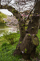 Sakura at Mitsuike Garden - For most visitors to Tsurumi, the greatest draw to Misuiike Park is the fact that it is listed as top 100 sakura cherry blossom viewing spots in Japan with 78 varieties of sakura, and altogether1600 trees.