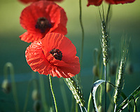 Red Poppies. Image taken with a Nikon D5 camera and 600 mm f/4 VR lens
