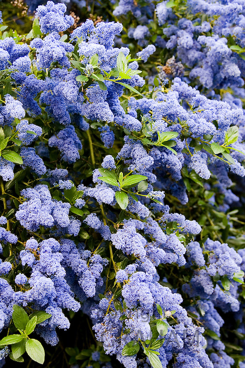 Ceanothus shrub at All Saints Church in Church Lench, Worcestershire, UK