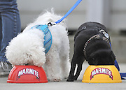 "© under license to London News Pictures. LONDON, UK  06/05/2011. Mario (L) and Drew (R) tuck in. Dogs Enjoying Marmite at Battersea Dogs and Cats Home today (06 May 2011). 100 Jars were delivered to the home as part of a prize. You either love it or hate it, but at Battersea, marmite is causing quite a stir amongst the dogs. Jars of the yeast extract, which has polarised the nation into lovers and haters, are polished off in no time by Battersea's canine residents who have developed quite a taste for the spread. Today 100 of the famous yellow topped glass jars will cause tails to wag in the kennels when they are delivered to the Home. The year's supply of Marmite is a rather unusual, but very welcome prize to Battersea Chief Executive Claire Horton who will be presented with one of the first ever Dogs Today Endal Awards for Services to Animals. Claire Horton who requested the prize for the dogs, in favour of the usual dog food awarded,  commented: ""Battersea dogs definitely 'love it' when it comes to Marmite. We like to provide our dogs with lots of different activities throughout the week to try and help them cope better in a kennel environment. One of the dogs' favourites is licking Marmite from chew toys - it keeps them entertained for hours."" Claire will be presented with her Endal Award by Marmite Brand Manager David Titman at the 2011 London Pet Show, taking place at Kensington Olympia, tomorrow, Saturday 7th May.Photo credit should read Stephen Simpson/LNP."