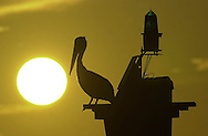 web photo.4 col color.***MUST RUN IN COLOR*** If you can't run it in color, please don't use this photo. - KB..KEVIN BARTRAM/The Daily News.A pelican is silhouetted as it sits atop a channel marker near Pelican Island just before a recent sunset.