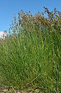 Saltmarsh Rush - Juncus gerardii