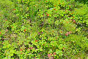 Horsetail, clubmoss and bunchberry in the Boreal Forest <br />Pisew Falls Provincial Park<br />Manitoba<br />Canada