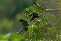 Paradise Crow (Lycocorax pyrrhopterus) perch in a tree in a rain forest clearing on Halmahera.