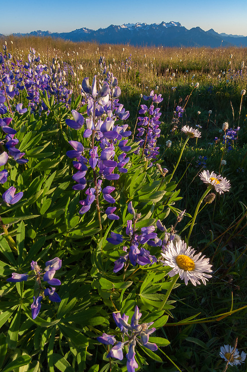 Broadleaf lupine (Lupinus latifolius) and asters (Aster ledophyllus), afternoon light, July, Hurricane Hill, alpine meadow, Elwha River watershed, Olympic National Park, Washington, USA