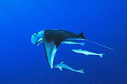 Manta ray, Manta birostris, with suckerfish, Echeneis naucrates, St. Johns Reef, Saint John´s Reef, South Egypt, Red Sea