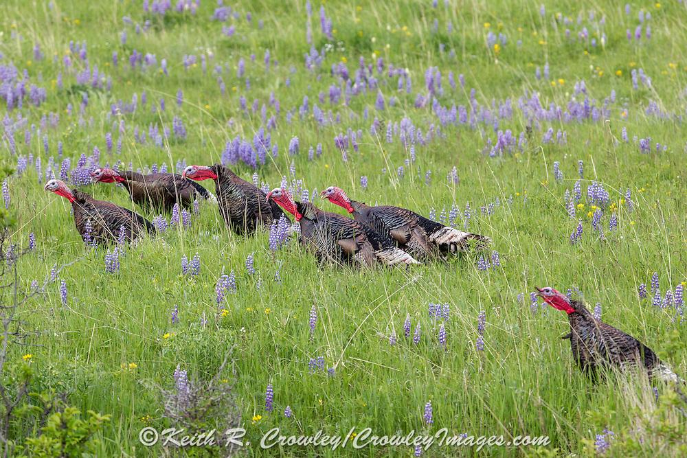 Wild Turkeys in Field of Wildflowers