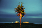 """Cabbage Tree.<br /> 2001.<br /> 320x490mm.<br /> C Type Print.<br /> Edition of Five (no editions available). <br /> First shown in the exhibition """"Assignment Aotearoa: Your Vision of New Zealand"""" Museum of New Zealand Te Papa Tongarewa, Wellington (2001). Awarded as the overall winner of the exhibition."""