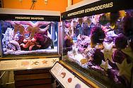A predatory seastars  and echinorderms on display at the Cabrillo Marine Aqurium in San Pedro, CA.