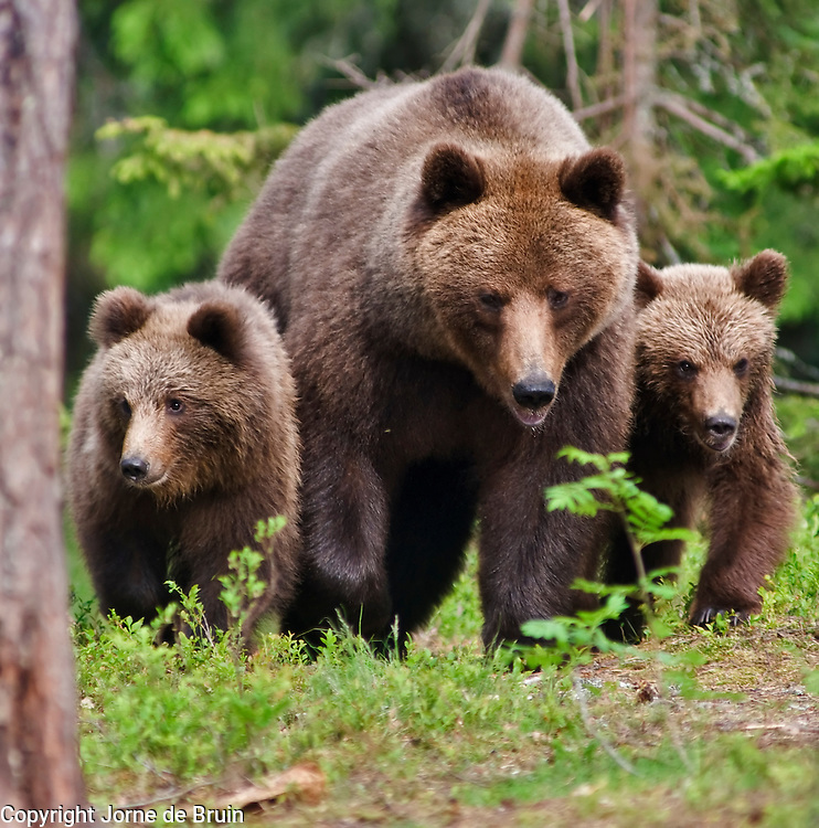 An Eurasian Brown Bear and her two cubs walk in a forest in Finland.