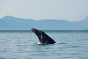 Humpback Whale Spy-Hopping, Icy Strait, Alaska
