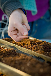 Sowing coriander into gutters