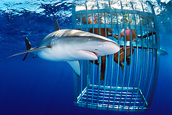 snorkelers and Galapagos sharks, .Carcharhinus galapagensis, .North Shore, Oahu, Hawaii (Pacific).