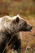 Grizzly Bear (interior Alaska), Ursus arctos, autumn, feeding on alpine blueberry (Vaccinium uliginosum), alpine tundra, hibernates in winter, Denali National Park, Alaska, ©Craig Brandt, all rights reserved; brandt@mtaonline.net