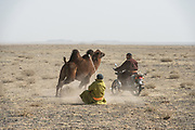 Bactrian camels (Camels bactrians)<br /> being worked by nomads<br /> Gobi Desert early winter<br /> Mongolia