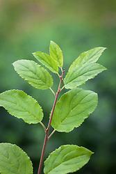 Buckthorn foliage. Rhamnus