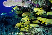 French grunts, Haemulon flovolineatum, off Freeport, Grand Bahama Island, Bahamas ( Western Atlantic Ocean )