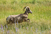 A female Bighorn sheep ewe walks through a mountain meadow in the Rocky Mountain National Park in Estes Park, Colorado.