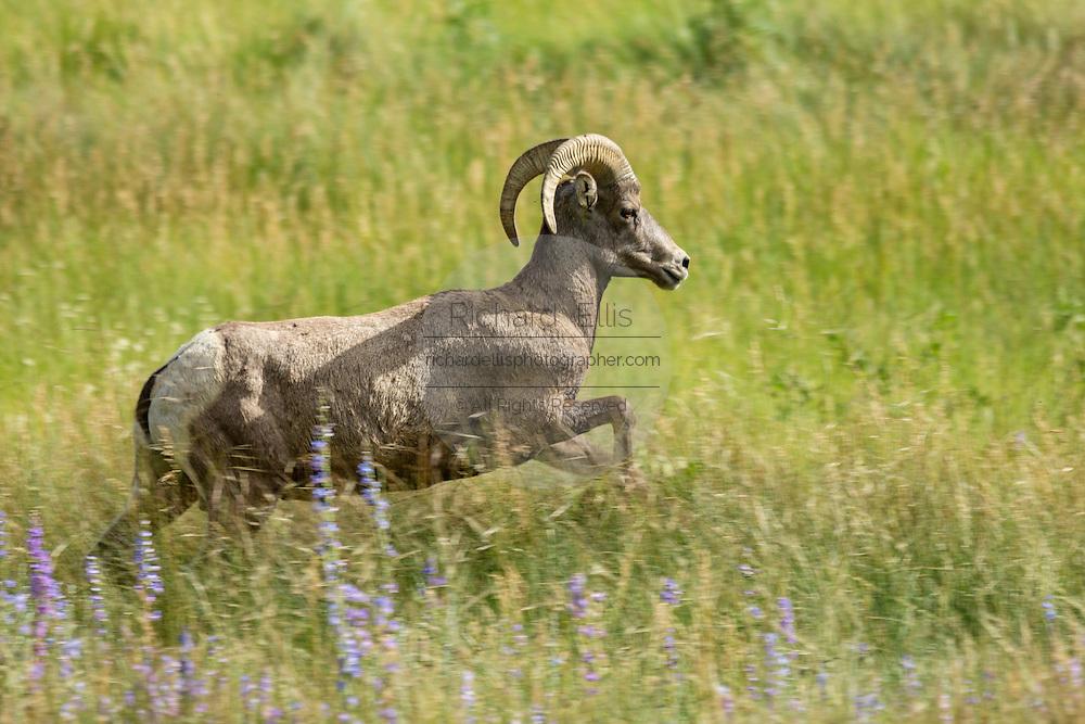 A female Bighorn sheep ewe walks through a mountain meadow in the Rocky Mountain National Park in Estes Park, Colorado.