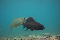 Grayling (Thymallus thymallus) <br /> Male (dark) and female on spawning ground, Lake of Thoune, Thoune, Switzerland<br /> Äsche (Thymallus thymallus)<br /> Männchen (dunkel) und Weibchen auf Laichgrund, Thunersee, Thun, Schweiz<br /> Ombre (Thymallus thymallus)<br /> Mâle (foncé) et femelle sur la frayère, Lac de Thoune, Thoune, Suisse<br /> 23-03-2009