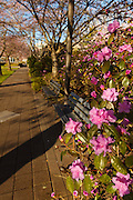 USA, Oregon, Salem, State Capitol State Park, azalea and sidewalk in the park.
