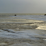 Grizzly bear (Ursus arctos horribilis) mother and cubs from the Arctic National Wildlife Refuge coming onto the coast of the Beaufort Sea, Alaska.
