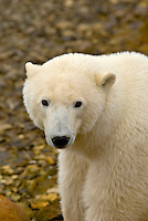 A polar bear, along Hudson Bay, near Churchill, Manitoba, Canada