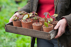 Tray of potted on ricinus