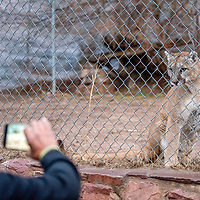 A cougar peers through the fence of a habitat at the Navajo Nation Zoo in Window Rock Jan 10.