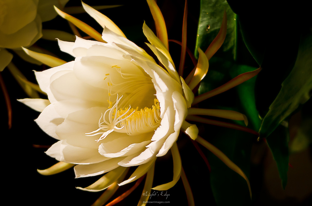 The first night of the 2012 season for blooms on the Bev Currier's Night Blooming Cereus. As the name implies, the blooms only open at night and they last only until morning.