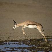 Springbok, (Antidorcas marsupialis) Jumping across puddle at waterhole. Kalahari Gemsbok Park. Africa.