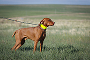SHOT 5/9/20 8:13:42 AM - Various pointing breeds compete in the Vizsla Club of Colorado Licensed Hunt Test Premium at the Rocky Mountain Sporting Dog Club Grounds in Keenesburg, Co. (Photo by Marc Piscotty / © 2020)